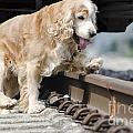 Dog Walking Over Railroad Tracks by Mats Silvan