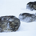 Dogs Sleep In Blizzard On Frozen Ocean by Gordon Wiltsie