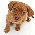 Dogue De Bordeaux Puppy by Mark Taylor