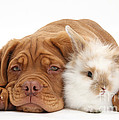 Dogue De Bordeaux Puppy With Bunny by Mark Taylor