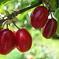 Dogwood Cornus Mas Berries by Ausra Huntington nee Paulauskaite