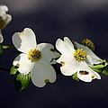 Dogwood Blossom - Beelightful by Travis Truelove