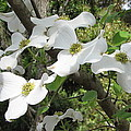 Dogwood Blossoms by Carla Parris