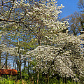 Dogwood Grove by Debra and Dave Vanderlaan