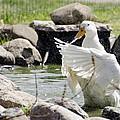 Doin The Duck Splash by LeeAnn McLaneGoetz McLaneGoetzStudioLLCcom