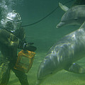 Dolphins Hover Near A Diver Holding An by Luis Marden