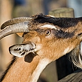 Domestic Goat by Artur Bogacki