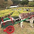 Donkey And Tea Gardens by Gaspar Avila