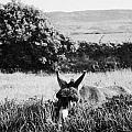 Donkey In The West Of Ireland by Joe Fox