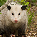 Don't Mess With Me Opossum by Kathy Clark