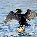 Double Crested Cormorant Wings Spread by Inspired Nature Photography Fine Art Photography