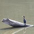 Double-crester Cormorant by Jack R Brock