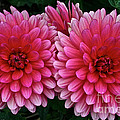 Double Dahlia by Susan Herber