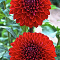 Double Decked Dahlia by Susan Herber