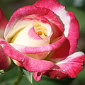 Double Delight Rose by Donna G Smith