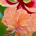 Double Hibiscus by Roger Mullenhour