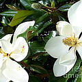 Double Magnolia by Gwen Baptiste