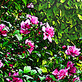 Double Rose Of Sharon by Debbie Portwood