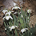 Double Snowdrops Squared by Teresa Mucha