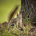Douglas Squirrel by Martin Cooper