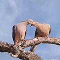 Dove Devotion by Betty LaRue