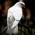 Dove In Repose by Lorraine Devon Wilke