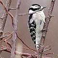 Downy Woodpecker 1 by Joe Faherty