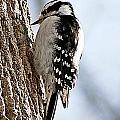 Downy Woodpecker 4 by Joe Faherty