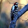 Downy Woodpecker by Elizabeth Winter