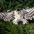 Downy Woodpecker In Flight by Ted Kinsman