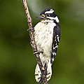 Downy Woodpecker by J Larry Walker
