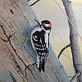 Downy Woodpecker by Norm Starks