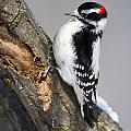 Downy Woodpecker Perched In A Tree by Philippe Henry