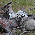 Dozing Goats by Ulrich Kunst And Bettina Scheidulin