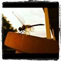 Dragon Fly by Dana Coplin