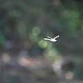Dragon Fly In Flight by Bill Cannon