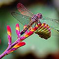 Dragon Fly by Jean Noren