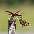 Dragon Fly Love by Kelly Rader