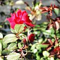 Dragon Fly Rose Bud  by G Adam Orosco