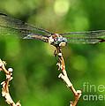 Dragon Fly by Susan Cliett