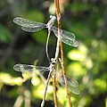 Dragonflies by Paulina Roybal