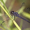 Dragonfly - Little Boy Blue by Travis Truelove