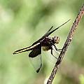 Dragonfly - Yellow Stripe by Travis Truelove