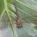 Dragonfly 1 by John Zawacki