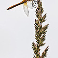 Dragonfly by Chris ODonoghue