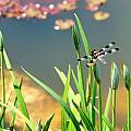 Dragonfly by Christine Tobolski