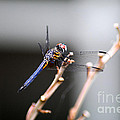 Dragonfly by Cindy Roesinger