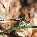 Dragonfly Closeup by Laurel Talabere