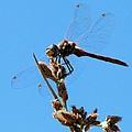 Dragonfly Dreams by Judy Garrett