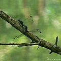 Dragonfly Hanky Panky by Ericamaxine Price